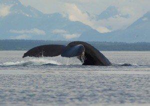 Alaska-Humpback-Tail-Fluke-300x213