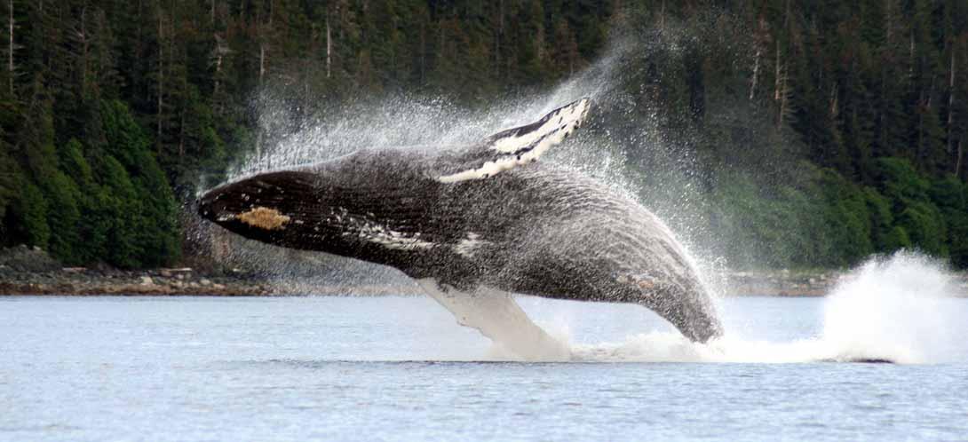Whale-Breaching7